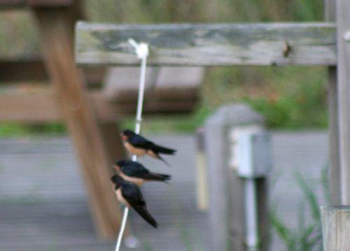 Baby swallows waiting 2