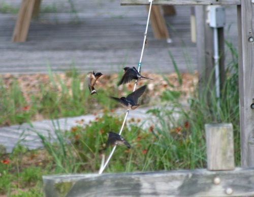 Swallow feeding babies