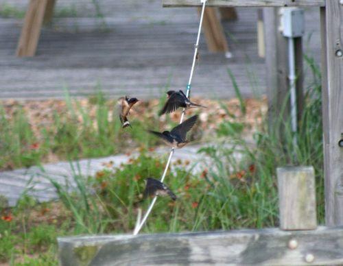 Swallow feeding babies