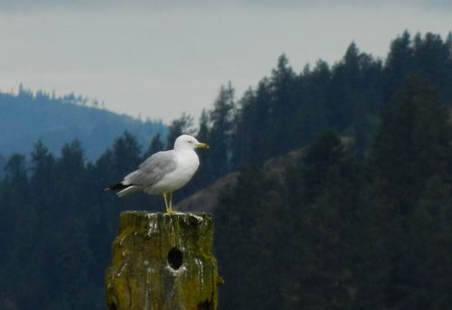 Trail of the coeur d'Alenes bird